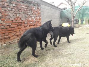 Mascul ciobanesc german negru cauta partenera. - imagine 2