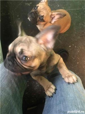 Pui Bulldog Francez - imagine 1