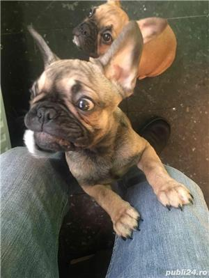 Pui Bulldog Francez - imagine 8