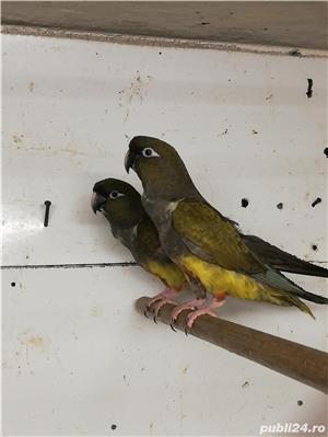 Vind papagali de stinca - imagine 1