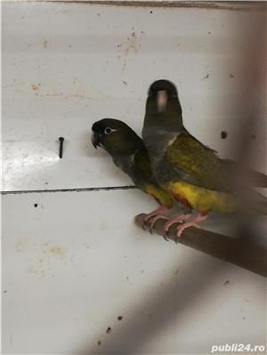 Vind papagali de stinca - imagine 2