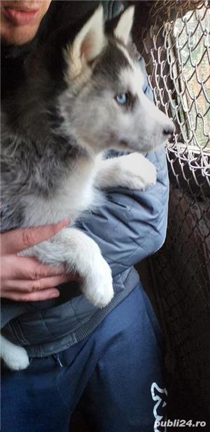 Vând Husky Siberian  - imagine 2