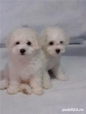 Pui bichon frise  - imagine 4