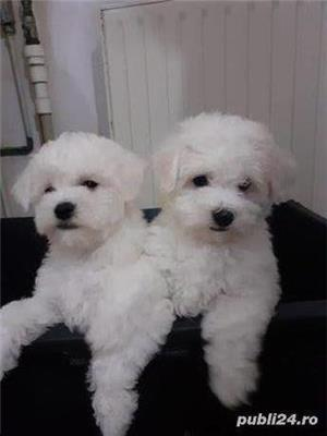 Pui bichon frise  - imagine 5