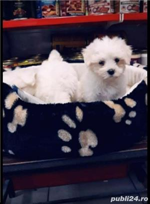Bichon Maltese - imagine 4