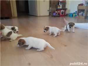 Pui Jack Russell Terrier - imagine 2