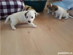Pui Jack Russell Terrier - imagine 3