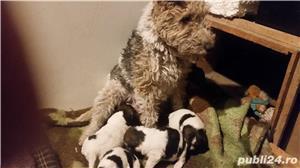 Vând căței fox terrier - imagine 2