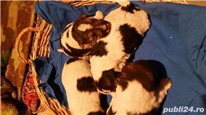 Vând căței fox terrier - imagine 1