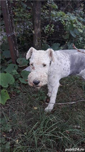 Vând căței fox terrier - imagine 4