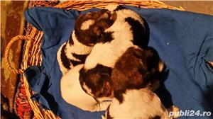 Vând căței fox terrier - imagine 3
