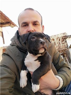 American Bully de Vanzare  - imagine 2