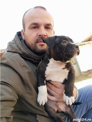 American Bully de Vanzare  - imagine 1