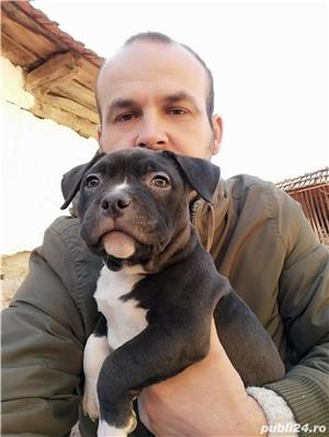 American Bully de Vanzare  - imagine 3
