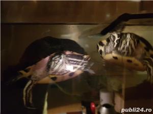 Vand acvariu (cu insulita) cu 2 broaște testoase 400 lei - imagine 1