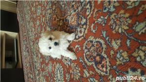 Bichon maltez 2 luni - imagine 3
