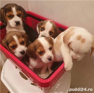 Pui de beagle tricolor si bicolor - imagine 1