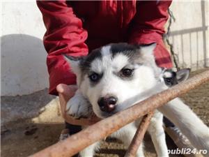 Vând Husky Siberian  - imagine 5