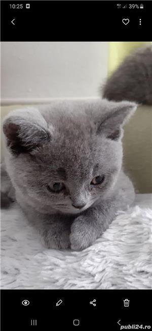 Pisica British Shorthair blu de8-10 săptămâni  - imagine 2