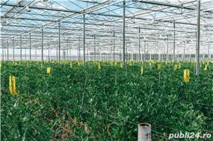 Sortat de căpșuni în OLANDA, 10 luni - imagine 1