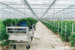 Sortat de căpșuni în OLANDA, 10 luni - imagine 5