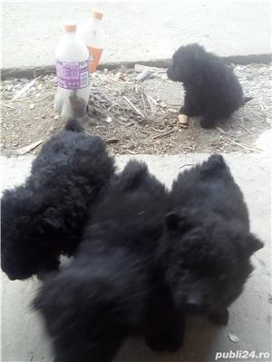 Patru cățeluși de intornat DE RASĂ - imagine 2