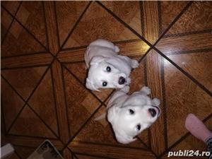 Catei de Labrador  - imagine 1