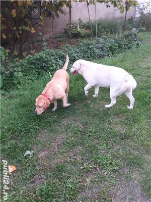 Labrador Retriever  - imagine 3