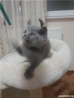 pisicute british shorthair! - imagine 2
