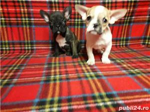 Bulldogi francezi Oradea - imagine 2