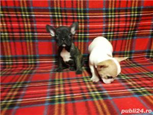 Bulldogi francezi Oradea - imagine 1