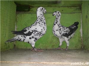 De vânzare porumbei - imagine 1
