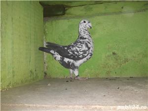 De vânzare porumbei - imagine 2