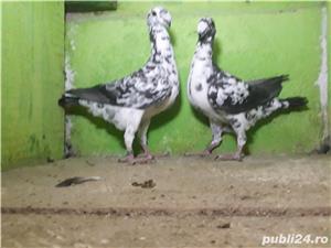 De vânzare porumbei - imagine 3