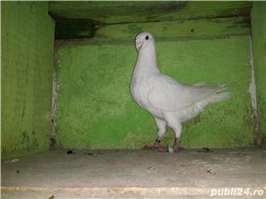 De vânzare porumbei - imagine 4