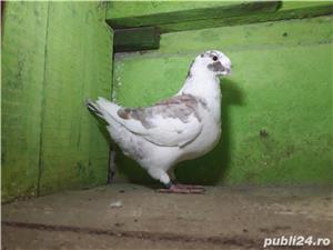 Porumbei americani de vânzare  - imagine 4