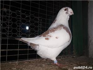 Porumbei americani de vânzare  - imagine 3