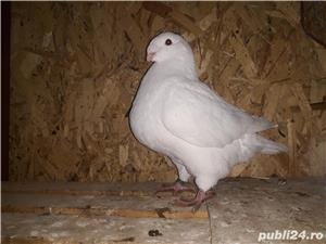 Porumbei americani de vânzare  - imagine 2