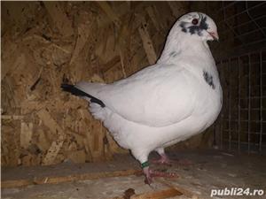 Porumbei americani de vânzare  - imagine 5
