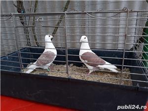 Porumbei voiajori căpăciti (listi ) - imagine 2