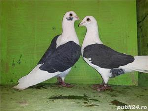 Porumbei voiajori căpăciti (listi ) - imagine 3