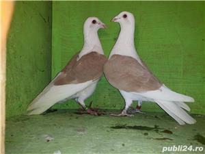 Porumbei voiajori căpăciti (listi ) - imagine 4