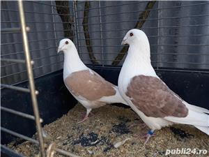 Porumbei voiajori căpăciti (listi ) - imagine 5