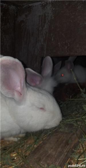 Vand iepuri  albi cap de leu mari  cu blana stralucitoare150 lei frumoși pentru copiiii  - imagine 1
