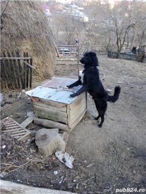 Vand câine ciobănesc  - imagine 1