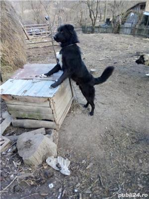 Vand câine ciobănesc  - imagine 2