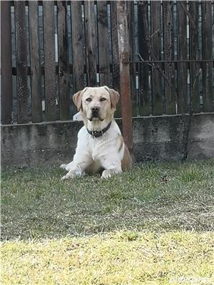 Labrador pentru monta - imagine 3