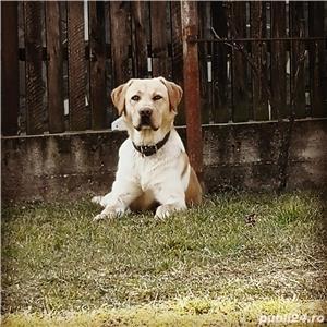 Labrador pentru monta - imagine 1