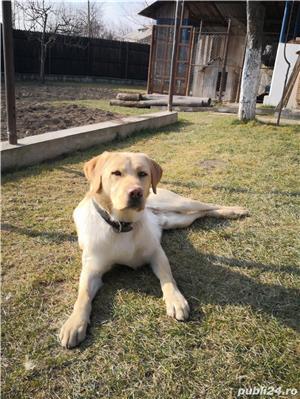 Labrador pentru monta - imagine 2