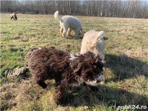 Lagotto Romagnolo - imagine 1